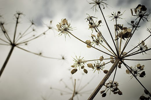 dead-cow-parsley1-520x347