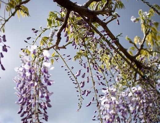 wisteria1-520x530
