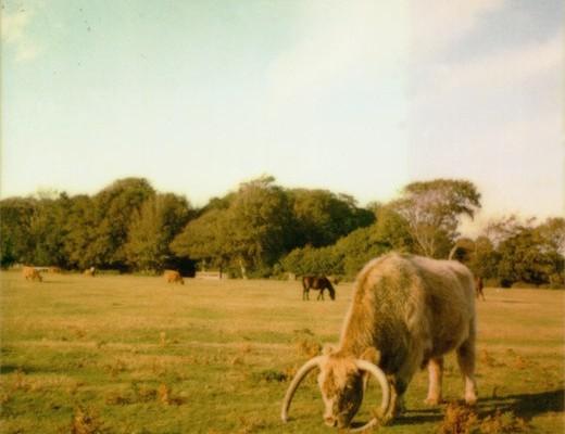 pola-cattle1-520x530