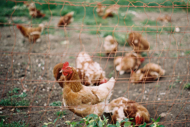 free range chickens - pentax k1000