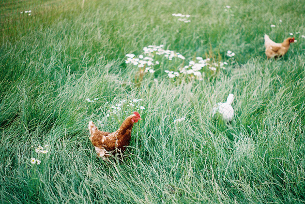 chickens in long grass - pentax k1000