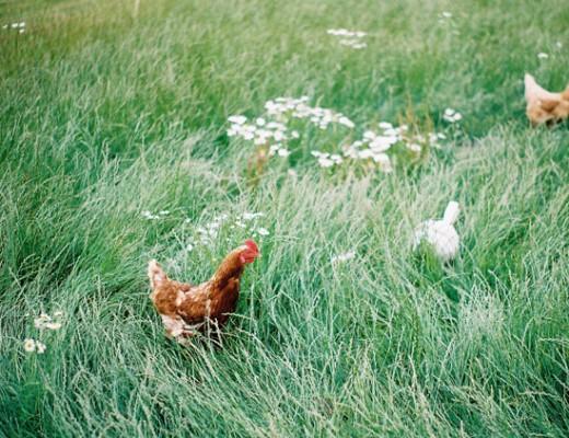 chickens in long grass - pentax k1000
