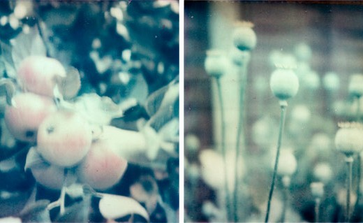 polaroid apples and poppy heads