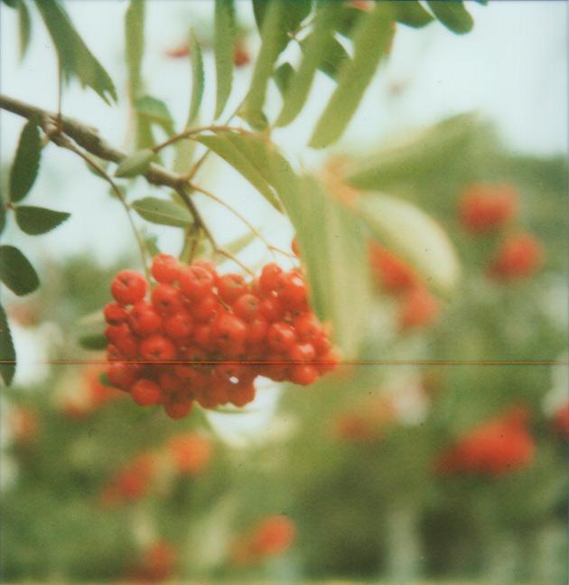 rowan berries - polaroid sx-70