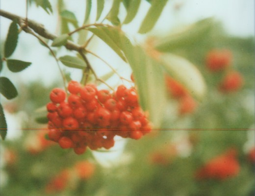 rowan berries - polaroid sx-70
