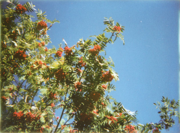 rowan berries - diana f+ with instant back
