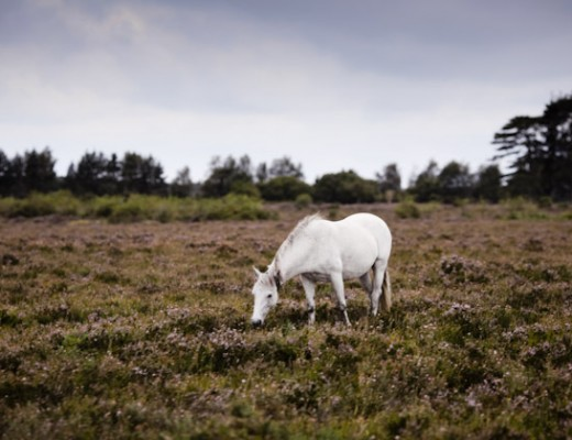 white horse - new forest