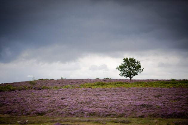 lonely tree - new forest