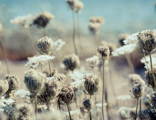 queen anne's lace - I