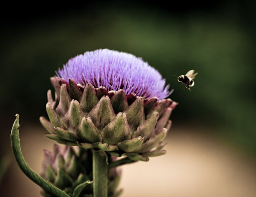 bee visiting artichoke