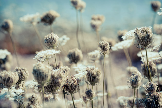 queen anne's lace - 135mm f/2.0 lens