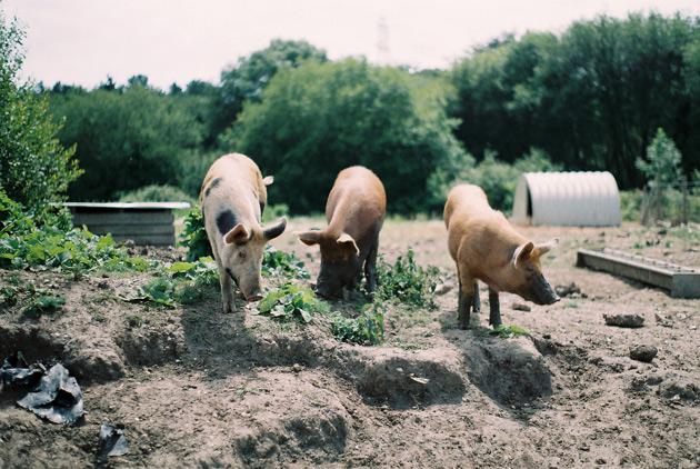 pentax k1000 - three little pigs