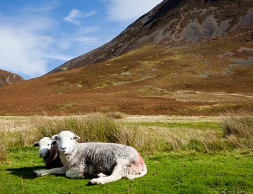 sheep - Lake District