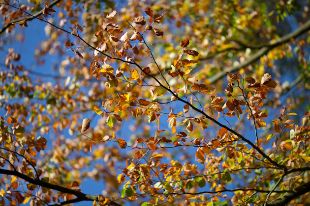 golden leaves and a blue sky