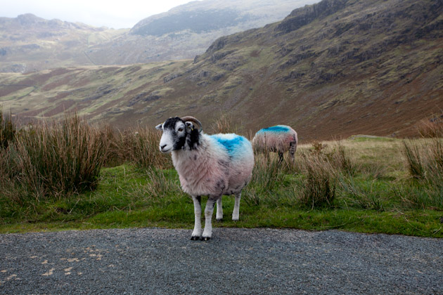 a Lake District sheep