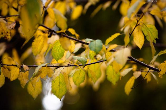 yellow leaves - cherry tree