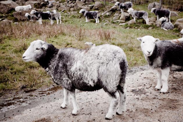 some sheep look like teddy bears