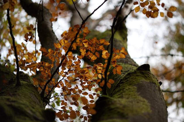 a tall beech tree