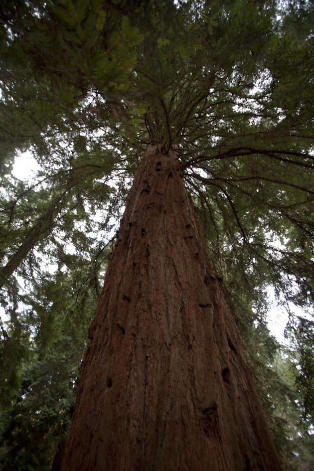 the tallest tree in england