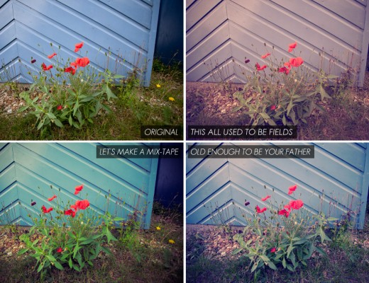 all-large-poppies