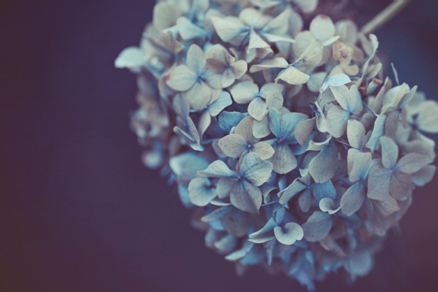 hydrangea 4 - blue and a bit dead