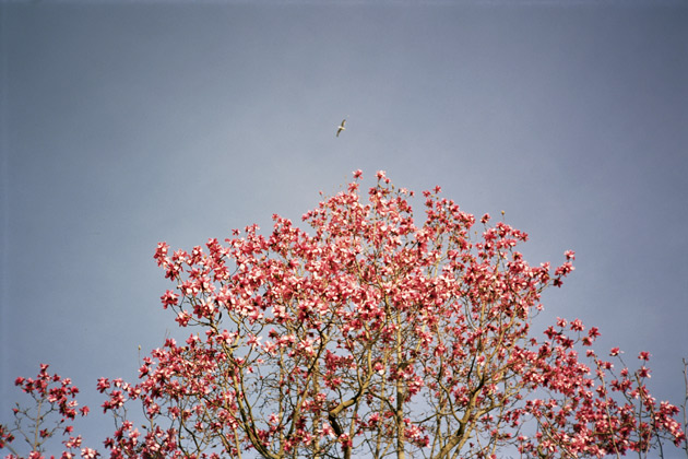 another magnolia - taken with Konica C35