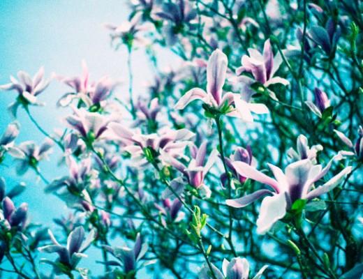 magnolia-cyan