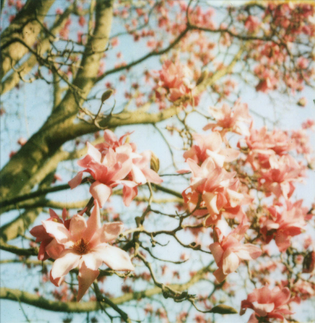 polaroid of some very pink magnolias