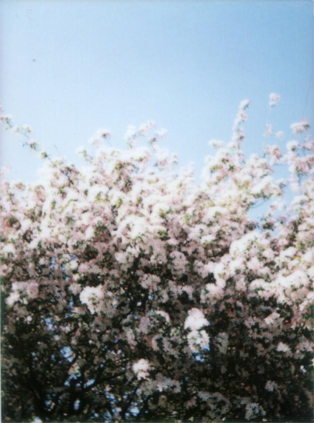 blossom - Fuji Instax Mini 25