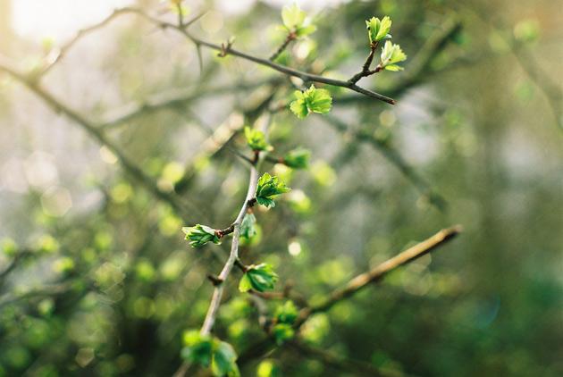 green leaves emerging - pentax k1000