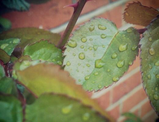 waterdrops-on-rose