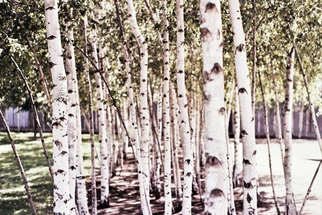 tate saplings