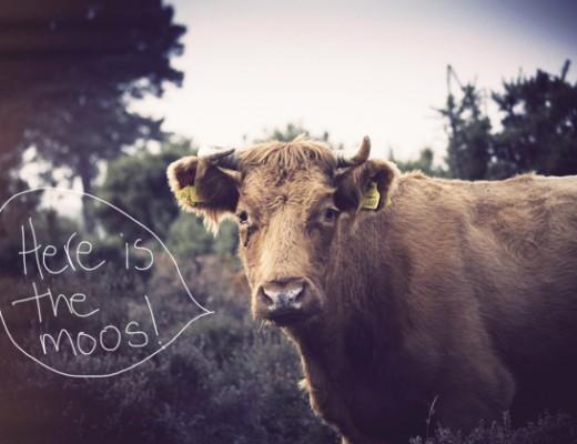 cow-moos