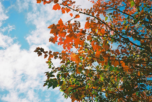 yashica-t3-autumn-leaves