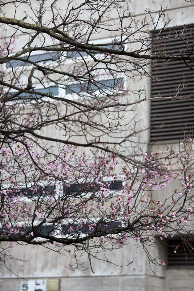 early blossom in town 6