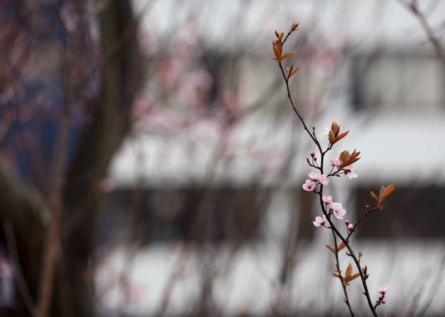 early blossom in town 4