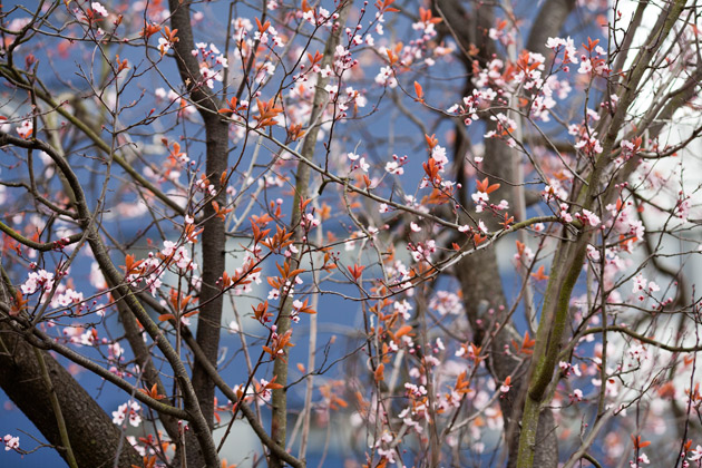 early blossom in town 3