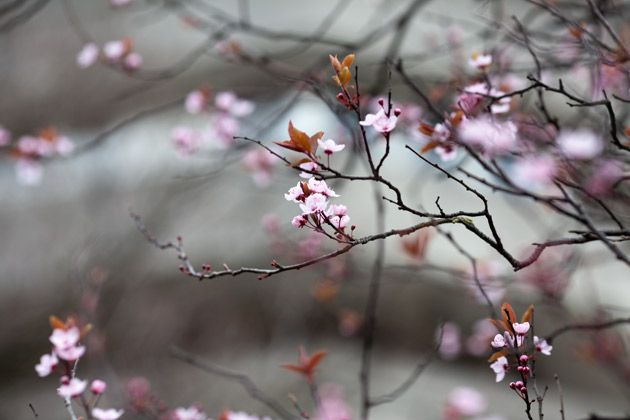 early blossom in town 2
