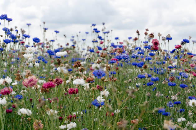 red, white and blue cornflowers