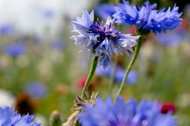 cornflower close-up