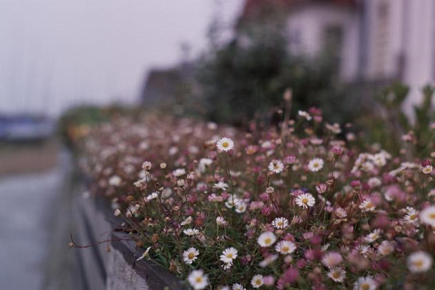 seaside daisies - pentax k1000