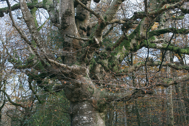 a very big and knobbly tree