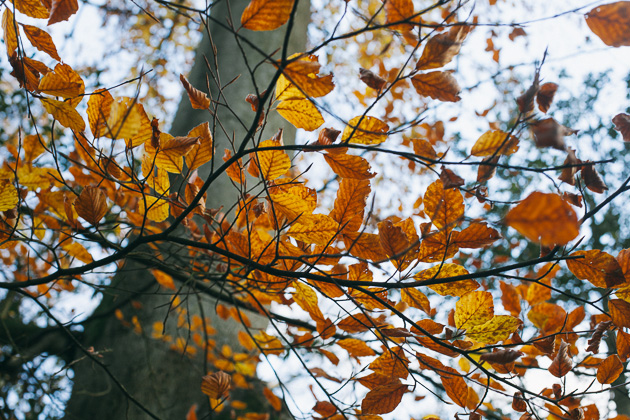 golden beech leaves