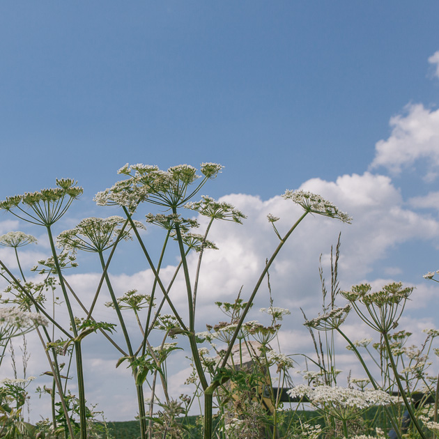 fluffy clouds and cow parsley