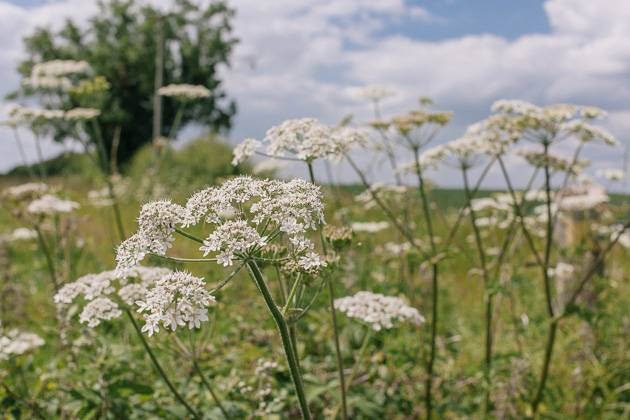 hedgerows full of cow parsley