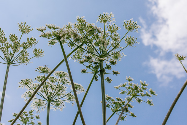 cow parsley, up-skirt shot!