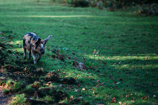 run piggy, run