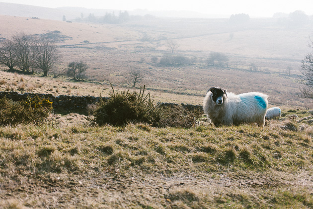 a sheep on Dartmoor