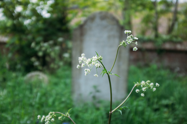cow parsley in the cemetery