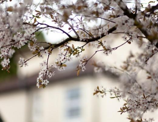 blossom-white